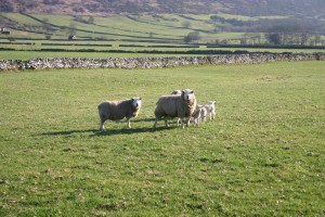 First sighting of spring lambs around Foolow
