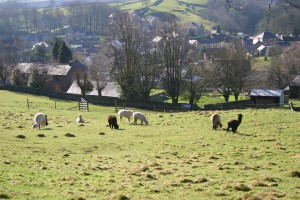 Alpacas in a field above Eyam