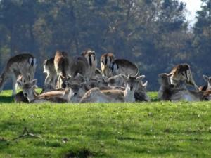 Deer in Chatsworth Park