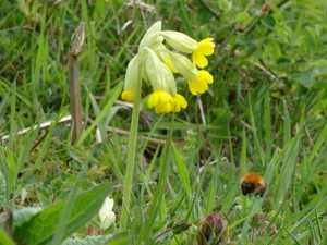 Cowslip at Silence Mine,