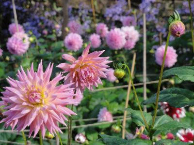 Dahlias at Chatsworth